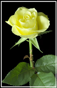 lone yellow rose