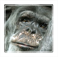 Thinking, an old Chimpansee solving problems