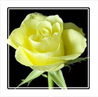 Yellow Rose, photographed with a dark background