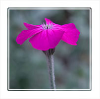 Pink on grey. A single pink flower with a natural grey background