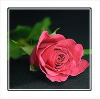 Single Pink Rose, photographed with a dark background