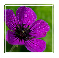 Purple raindrops, purple flower on natural background after a rain shower
