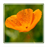 Yellow petal, an yellow flower after a rain shower with a natural background