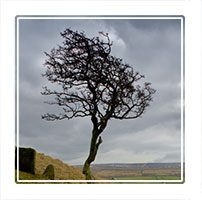 Years of wind and weather have moulded this tree into the windswept shape it holds, Wycoller Country Park Lancashire, England