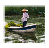 A female worker is harvesting pond weed from the river, often used for feriliser in the Olympic park, Beijing, China